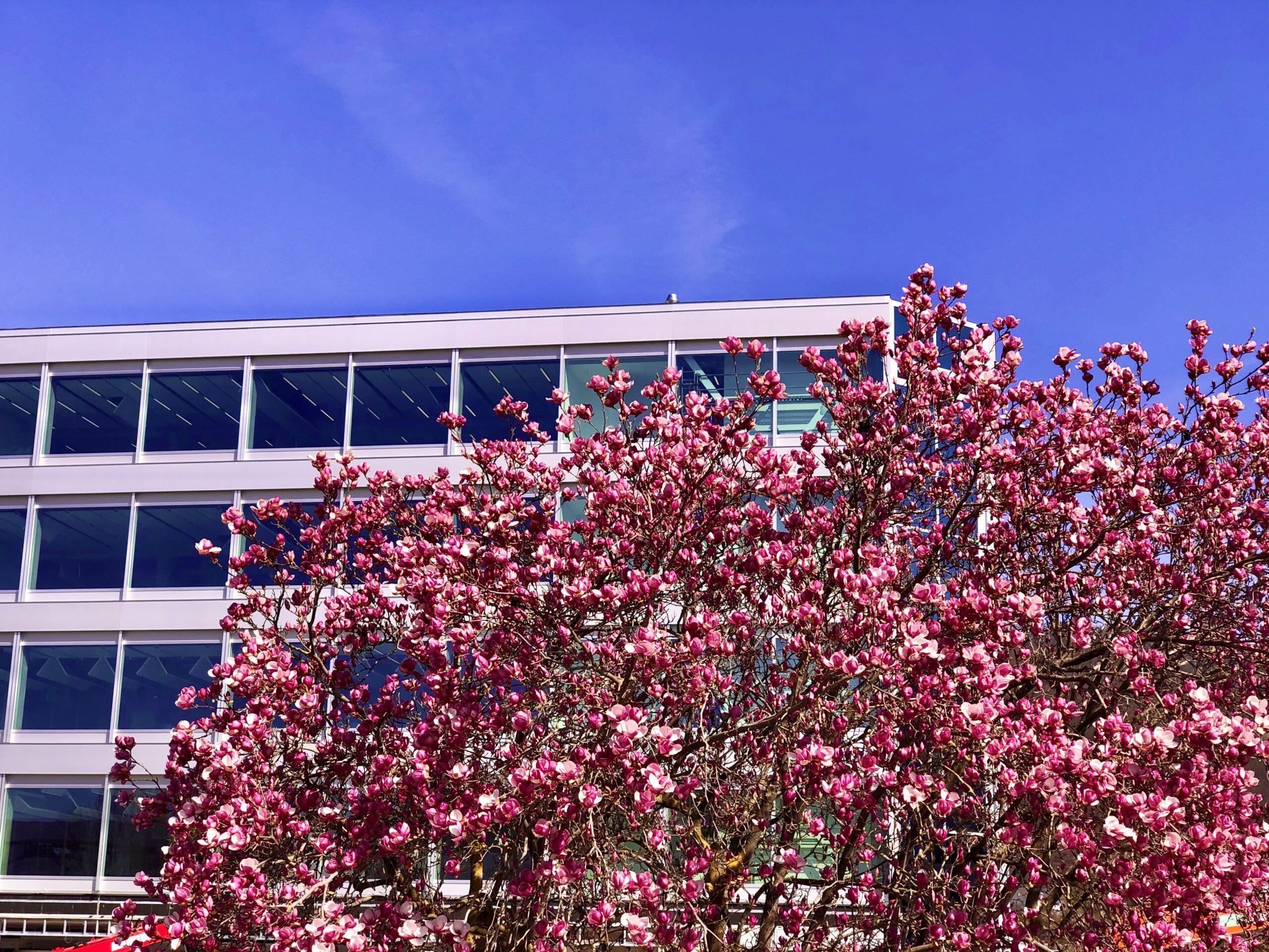 Südansicht im Frühjahr mit blühenden Magnolien